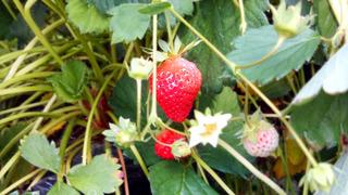 20170628_strawberry.jpg